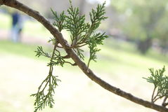 Tree branch. With fuzzy background Royalty Free Stock Photos