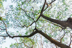 Tree with branch in the Gardens. In Bangkok Stock Photos