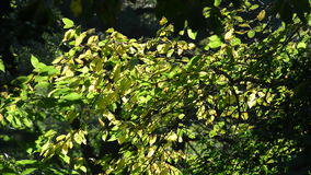 Tree branch with green leafs during autumn stock video