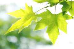 Tree branch with green leaves Royalty Free Stock Images
