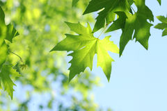 Tree branch with green leaves Royalty Free Stock Photo