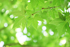 Tree branch with green leaves Royalty Free Stock Image