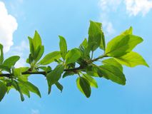 Tree branch with green leaves Stock Photos