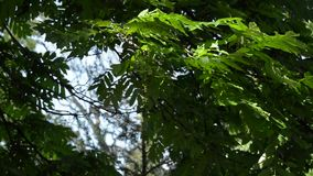 Tree branch with green leaves against the blue sky. In the park stock video footage