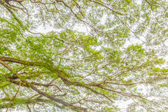 The tree branch of green leaves on a big tree, nature background Stock Photography