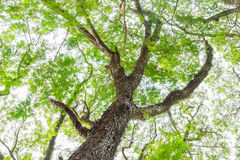 The tree branch of green leaves on a big tree, nature background Stock Images