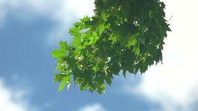 Tree branch with green leaves. Foliage sways in the wind. Life is wonderful. Clear summer sky stock footage