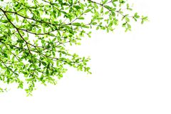 Tree branch with green leaves isolated. On white background royalty free stock photo