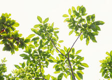 Tree branch with green leaves isolated on white Stock Images