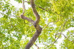 Tree branch of green leaves, nature Royalty Free Stock Photography