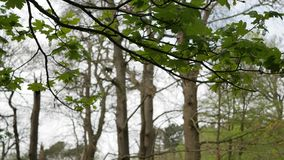 Tree branch with green leaves swaying in the wind stock video footage