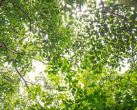 Tree branch with green leaves  on white Stock Photos