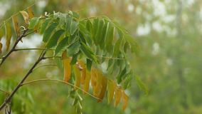 Tree branch with green and yellow leaves on a green background nature. Tree branch with green and yellow leaves on a green background stock footage