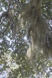 Tree Branch Heavy with Spanish Moss Royalty Free Stock Photo