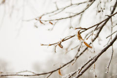 Tree branch in hoarfrost. Branch of a tree in hoarfrost on blurred light background Royalty Free Stock Photo