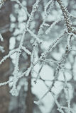 Tree branch in hoarfrost closeup in winter Royalty Free Stock Photography