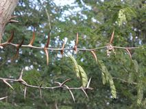 Tree branch with huge spikes. Stock Image