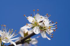 Tree Branch In Bloom Royalty Free Stock Image