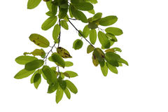 Tree branch isolated Stock Image