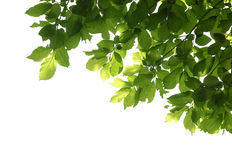 Tree branch isolated Royalty Free Stock Photos