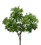 Tree branch isolated Royalty Free Stock Image
