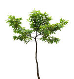 Tree branch isolated Royalty Free Stock Photography