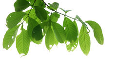 Tree branch isolated Royalty Free Stock Images