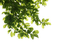 Tree branch isolated Stock Photo
