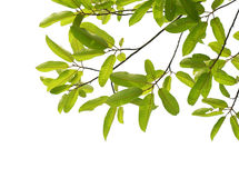 Tree branch isolated Stock Photography