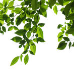 Tree branch isolated Stock Images