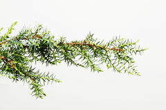 Tree branch isolated on white Stock Images