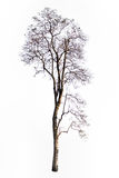 Tree branch. The tree branch isolated on white background Royalty Free Stock Image