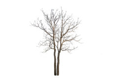 The tree branch. Isolated on white background Stock Image