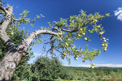 Tree Branch Laden with Apples Stock Photography