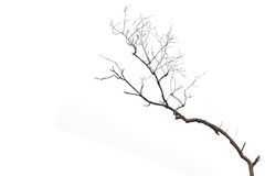 Tree branch without leaf isolated on white Stock Image