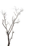 Tree branch without leaf isolated on white stock images
