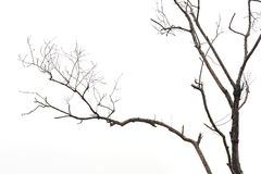 Tree branch without leaf isolated on white Royalty Free Stock Images