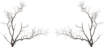 Tree branch without leaf isolated on white Stock Photography