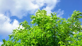 Tree branch with leafs in the wind under a sunny and blue sky with clouds. Steadycam shot stock footage