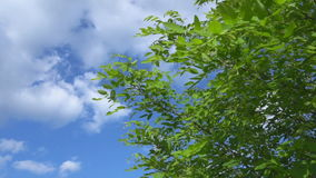 Tree branch with leafs in the wind under a sunny and blue sky with clouds. Steadycam shot stock video footage