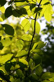Tree branch with leaves back in Sunny daylight Royalty Free Stock Images