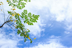 Tree branch with leaves on clouds and blue sky background from low angle view. Stock Image