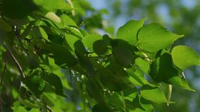 Tree branch with leaves fluttering in the wind backlit. Natural color stock video
