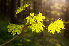 Tree branch with leaves in forest on sunset background Stock Photography