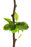 Tree branch with leaves isolated on white Stock Image