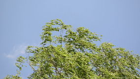 Tree branch leaves sky. Green birch tree branch twig leaves move in wind on blue sky background stock video