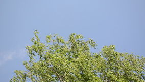 Tree branch leaves sky. Green tree branch twig leaves move in wind on blue sky background stock video footage