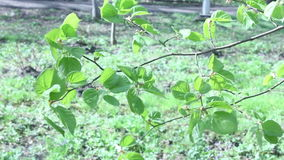 Tree branch with leaves. Tree branch with spring leaves in the wind background stock video footage