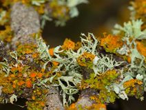 Tree branch with lichens of colors Royalty Free Stock Photos