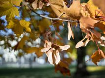 Tree branch maple yellow leaf sunlight outdoor garden bokeh background autumn day. Maple leaves blue sky sunlight autumn day tree park stock image